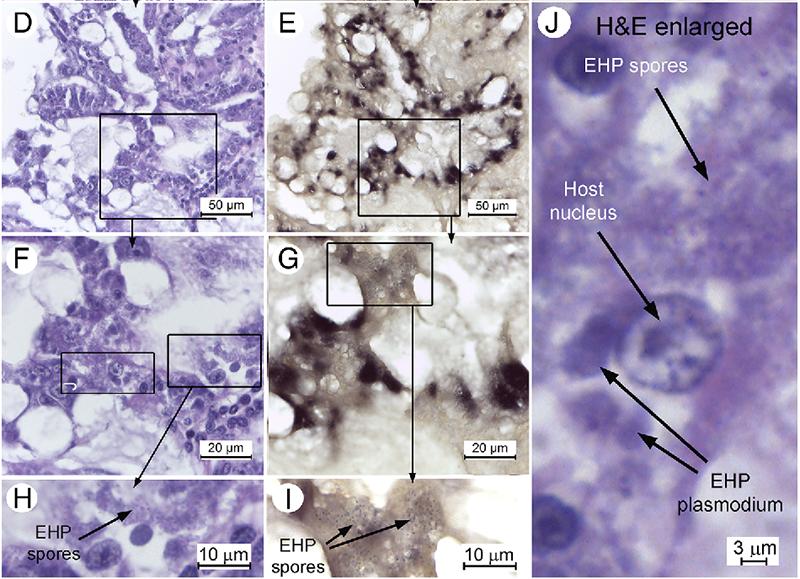 quan sát mô học của vi bào tửu trùng gây bệnh EHP