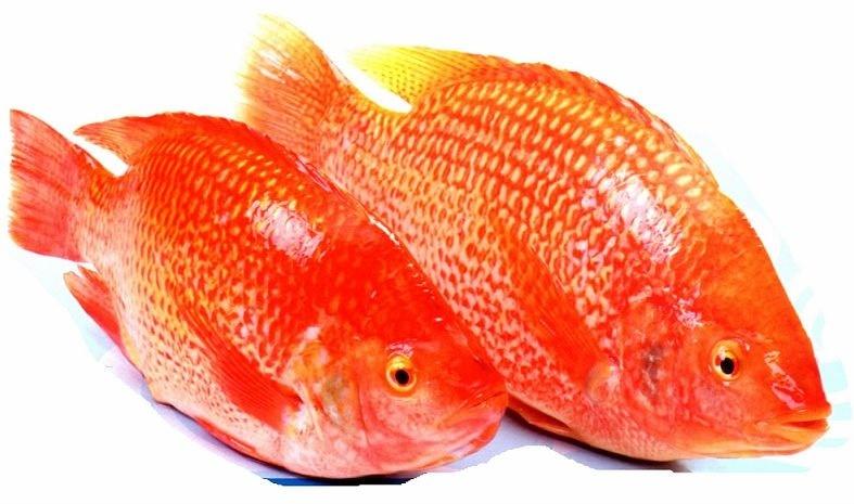 Cá điêu hồng (cá diêu hồng)