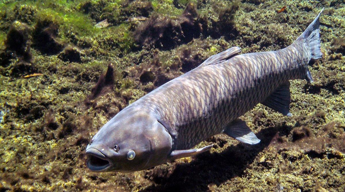 bệnh cá trắm cỏ