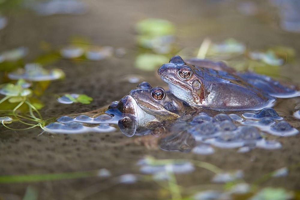 ếch sinh sản