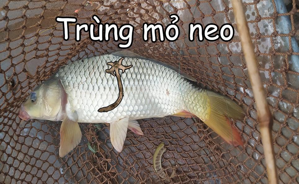 Trùng mỏ neo trên cá chép