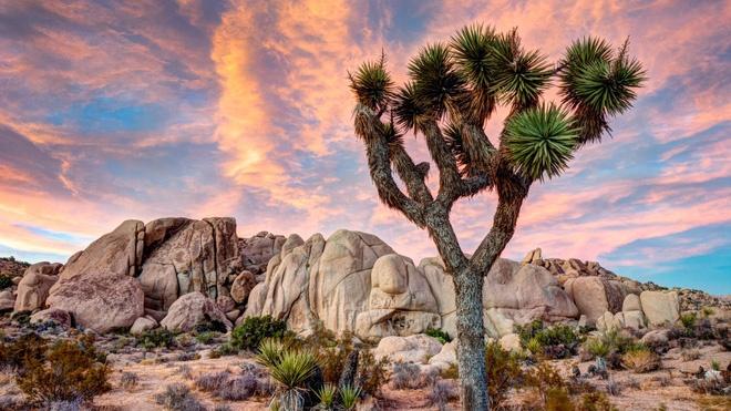 Cây Joshua có tên khoa học Yucca brevifolia